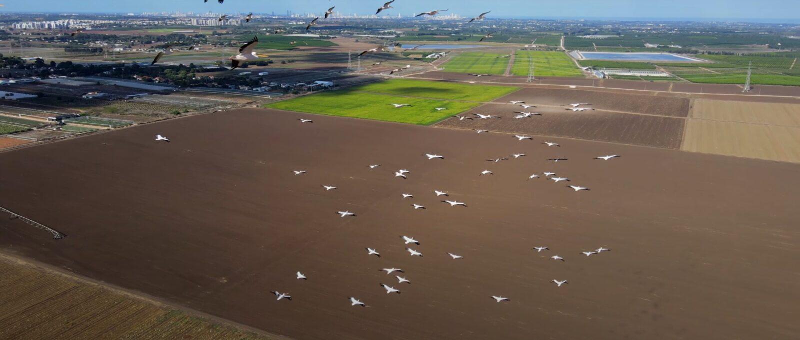 DJI Mavic Air 2 сделал захватывающее видео мигрирующих пеликанов.